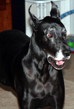 Keisha - Great Dane